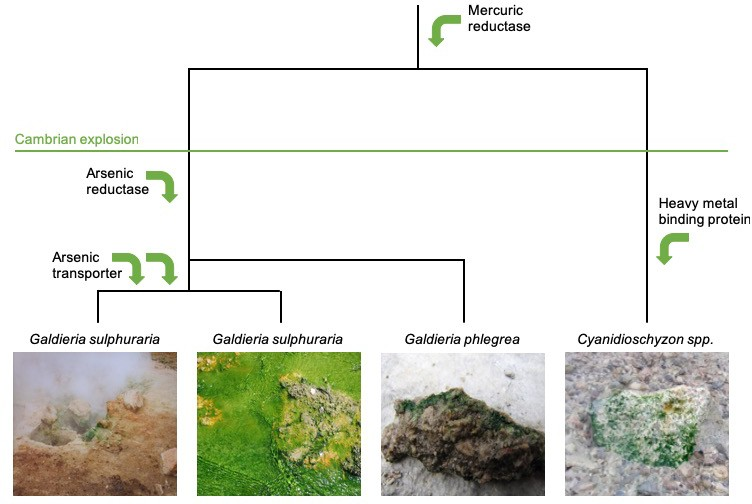 Horizontal gene transfer in the evolution of red algae